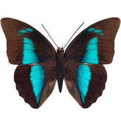 """Live butterfly """"Prepona"""""""