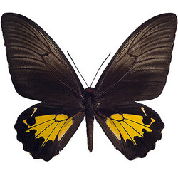 "Живая бабочка ""Птицекрылка золотистая"""