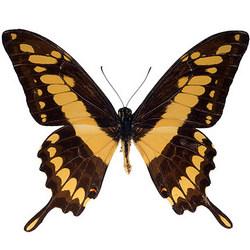 """Живая бабочка """"Тоас"""""""