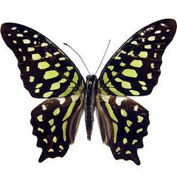 "Живая бабочка ""Агамемнон"""