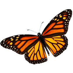"Live butterfly ""Monarch"""