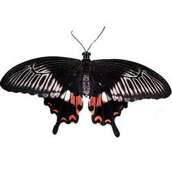 "Live butterfly ""Mormon ordinary"" (female)"