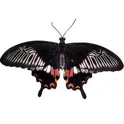 "Живая бабочка ""Мормон обыкновенный"" (самка)"