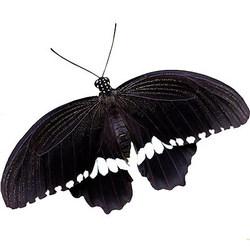 """Живая бабочка """"Мормон обыкновенный"""" (самец)"""