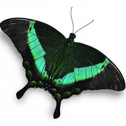 """Живая бабочка """"Павлин"""""""