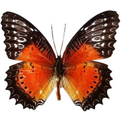 "Живая бабочка ""Персия"""