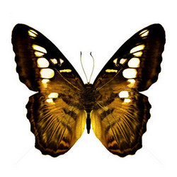 "Live butterfly ""Tiger"""