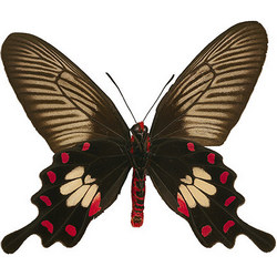 "Живая бабочка ""Черная роза"""