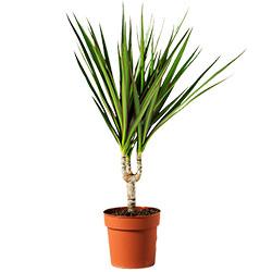 """Комнатное растение """"Драцена"""""""