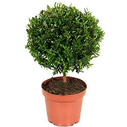 """Комнатное растение """"Мирт"""""""