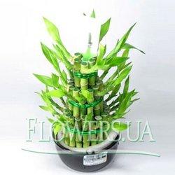 """Комнатное растение """"Бамбук"""""""