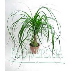 """Комнатное растение """"Бокарнея"""""""