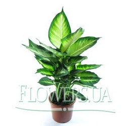 "Houseplant ""Dieffenbachia"""