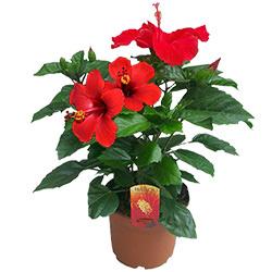 """Houseplant """"Hibiscus"""""""