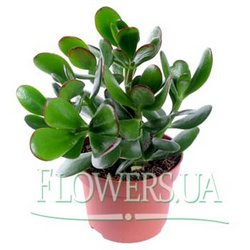"Houseplant ""Crassula"" (Money Tree)"