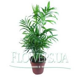 """Houseplant """"Chamaedorea"""""""