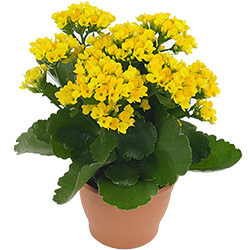 """Комнатное растение """"Каланхое"""""""
