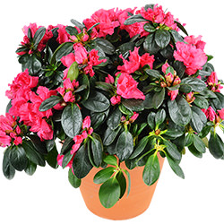 "Комнатное растение ""Азалия"""