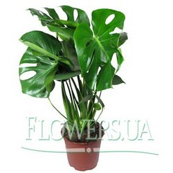 "Houseplant ""Monstera"""