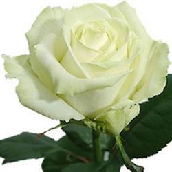 Роза белая (поштучно)