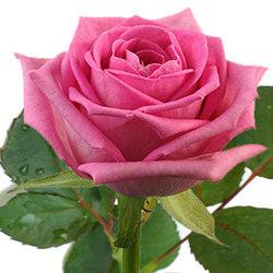 Рожева трояна (поштучно)